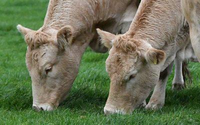 Wat eet een koe per dag?